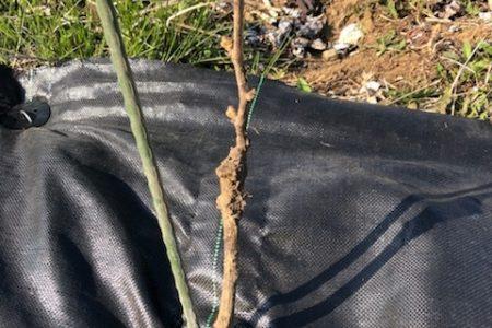 新品種を植栽